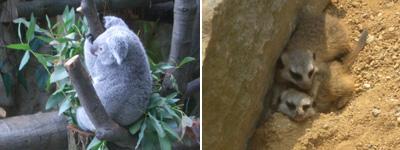 koalaerdmann.jpg
